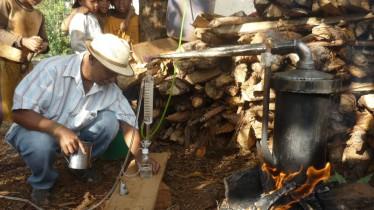 Distillation du ravintsara