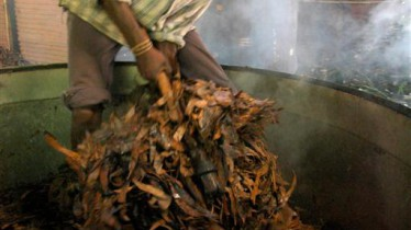 Vider les feuilles d'eucalyptus de l'alambic après la distillation