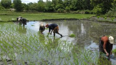 Les femmes se mettent en ligne pour repiquer le riz