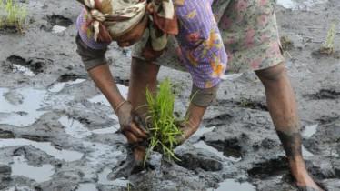 Repiquage d'un plant de riz